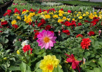 Pants de fleurs annuelles aux Jardins du Petit-Pré