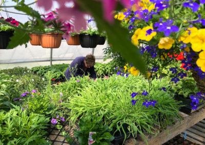 Serre avec fleurs annuelles aux Jardins du Petit-Pré