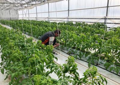 Plants de tomates dans le complexe de serre des Jardins du Petit-Pré