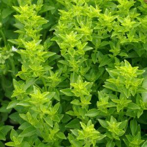 Fines herbes Basilic grec
