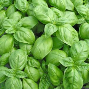 Fines herbes Basilic vert