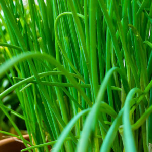 Fines herbes Ciboulette