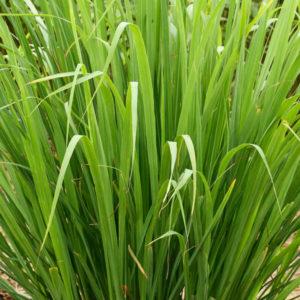 Fines herbes Citronnelle