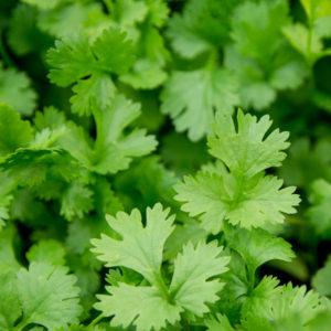 Fines herbes Coriandre