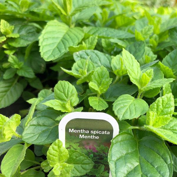 Fines herbes Menthe marocaine