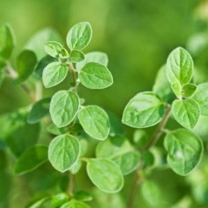 Fines herbes Origan grec