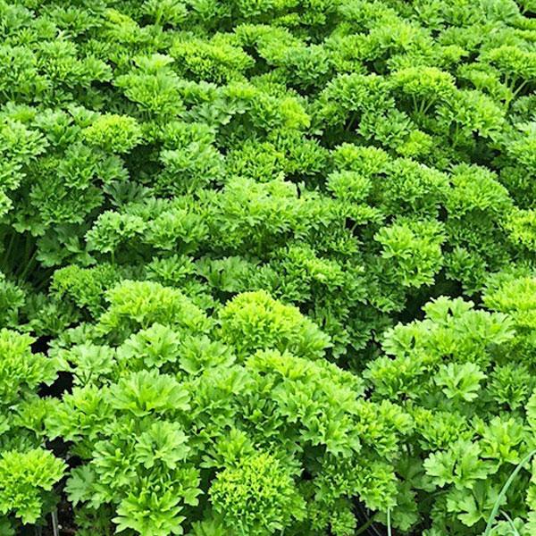 Fines herbes Persil frisé
