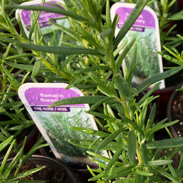 Fines herbes Romarin