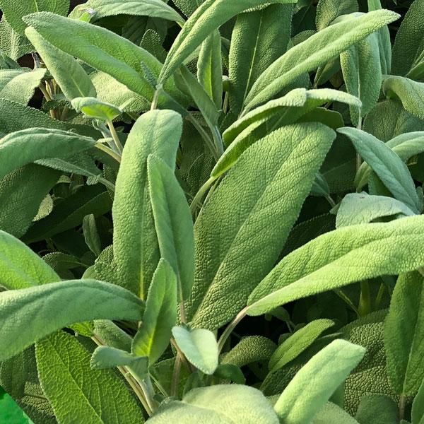 Fines herbes Sauge à grandes feuilles