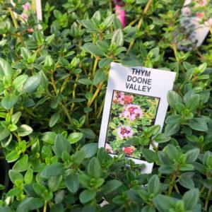 Fines herbes Thym d'hiver