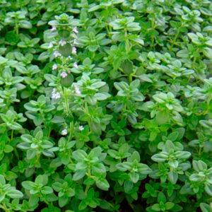 Fines herbes Thym citron